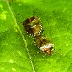 Woundwort Shield bugs....at it!