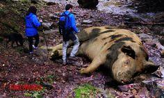 CERDOS GIGANTES: El cerdo mas grande del mundo – Animales salvajes