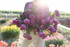 Naše nejoblíbenější fialová barva je zaručeně plnokvětý tulipán Blue Diamond. K tomu krásné, pevné stonky a příjemná jemná vůně, což je u tulipánů neobvyklé a dlouhá výdrž ve váze i na záhonku. Nutnost! Plants, Plant, Planets