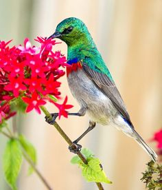 hummingbird south africa #red flower bird wildlife                                                                                                                                                                                 More