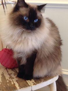 Lovely Ragdoll #cats #ragdoll http://www.nojigoji.com.au/