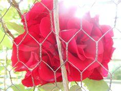 Red rose, true love