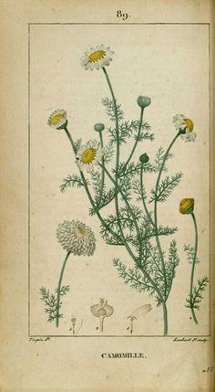 Illustration Inspiration, Nature Illustration, Botanical Illustration, Botanical Drawings, Botanical Prints, Vintage Images, Vintage Posters, Flora Vintage, Camomille Romaine
