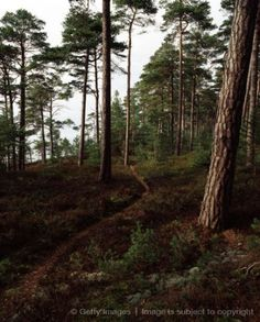 Trees in a forest, Oland, Sweden