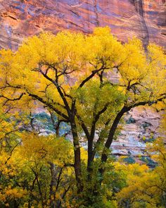 A cottonwood tree in autumn. Zion National Park in southwestern Utah. Populus fremontii, the Fremont cottonwood or Alamo cottonwood, is a cottonwood (and thus a poplar) native to riparian zones of the Southwestern United States and far northern Mexico. The tree grows near streams, rivers, springs, wetlands, and well-watered alluvial bottomlands at elevations below 6,600 ft elevation.