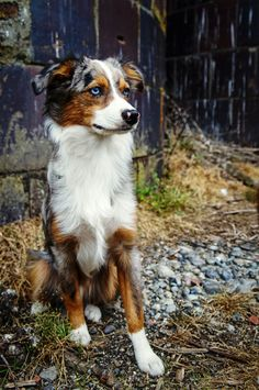 miniature australian shepherd. blue merle. bear. 6 months. puppy. dog. Puppy Dog Dogs Puppies