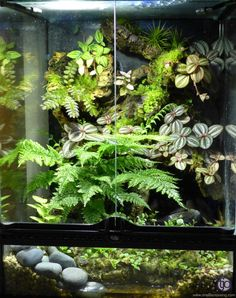 Bunch Umbrella Fern live tropical plant for vivarium terrarium frog selaginella in Pet Supplies, Fish & Aquarium, Live Plants