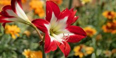 🌷🌼🌸 Είναι καιρός να φυτέψουμε αμαρυλλίδες, ένα από τα πιο όμορφα και ανθεκτικά φυτά με πανέμορφα μεγάλα λουλούδια που γοητεύουν. 🌱 Ο βολβός της αμαρυλλίδας φυτεύεται μέσα στο φθινόπωρο και ανθίζει από τα τέλη του χείμωνα μέχρι τις αρχές της άνοιξης. 🌺 Οι αμαρυλλίδες έχουν την ικανότητα να βγάζουν ρίζες και να αναπτύσσονται χωρίς χώμα, χαρίζοντάς μας την εντυπωσιακή ανθοφορία τους σε νερό.