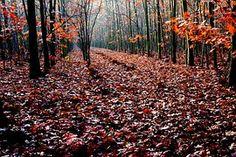 Oak, Autumn, Forest, Oak Leaves, Red
