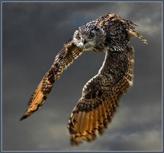 Bengal eagle owl (bubo bubo) - last of a trilogy