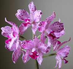Cattleya amethystoglossa - Flickr - Photo Sharing!