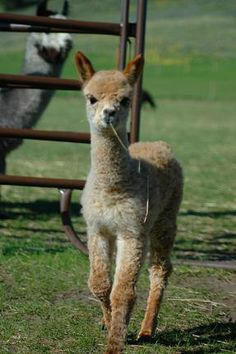 Alpaca Farm Info and Blog link ...I want to own alpacas! A great tax deduction, source of fiber, and friend!