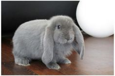 French Lop are so cute♥ Blue ♥ (Picture from Google)