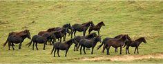 Basque Pony - Spain