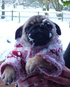 Pugs + Snow = World is Ending