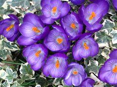 Bright purple crocus flowers in amongst variegated ivy