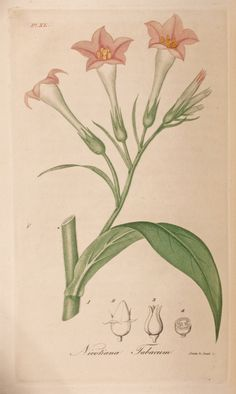 """Engraved by Annin and Smith from a drawing by Jacob Bigelow(?). Colored engraving of Nicotiana tabacum or Tobacco (Figure 1) with the """"Capsule"""" (Figure 2), """"Ripe capsule opening at top"""" (Figure 3), and """"Transverse section"""" (Figure 4)."""