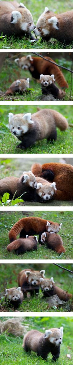 Birth of Red Panda Cubs