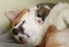 Pembroke Welsh Corgi and her puppy.