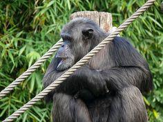 Zoo La Flèche, France - chimpanzé