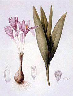 Crocus plant Illustration by Pierre-Joseph Redouté (1759-1840)