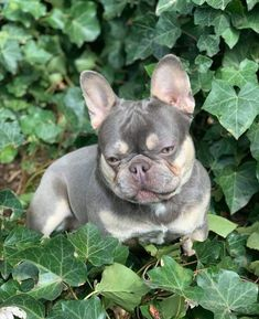 French Bulldog Puppies, Cute Dogs And Puppies, French Bulldogs, Animal Pics, Funny Animal Pictures, Cute Funny Animals, Cute Baby Animals, Cute Wallpaper Backgrounds, Furs