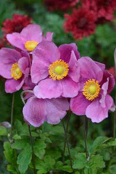 Anemone Bowles Purple Lomandra, Drought Tolerant Garden, Daisy Field, Snow In Summer, Naturaleza