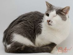 Missoni is an adoptable Domestic Short Hair - gray and white searching for a forever family near Santa Fe, NM. Use Petfinder to find adoptable pets in your area.