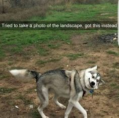 Capturing the right moment: Funny Animal Quotes - Funny Dog Quotes - Capturing the right moment: Funny Animal Quotes Funny Husky Meme Funny Husky Quote The post Capturing the right moment: Funny Animal Quotes appeared first on Gag Dad. Husky Humor, Funny Husky Meme, Dog Quotes Funny, 9gag Funny, Funny Dogs, Cute Dogs, Humor Quotes, Hilarious Memes, Memes Humor
