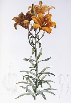 Floral Painting - Tiger Lily by Pierre Joseph Redoute