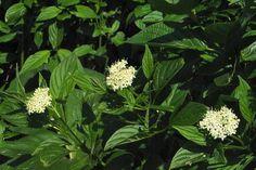 Cornus tiges jaunes Le Cornouiller stolonifère 'Flaviramea' (Cornus stolonifera 'Flaviramea') est une belle plante à feuillage caduc, mais remarquable par ses tiges vert-jaune en hiver.
