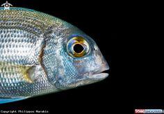 Portrait of a fish in Crete - Greece