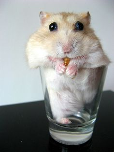 Crazy! Bug-eyed hamster eating a mealworm while  sitting in a shot glass!