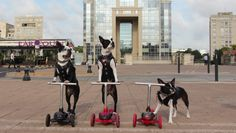What would you Name this Biker Gang? 😎 Watch them here ► http://www.bterrier.com/?p=29405 - https://www.facebook.com/bterrierdogs