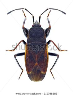 Bug Eremocoris plebejus on a white background - stock photo