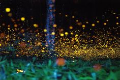 firefly forest in hokubo town