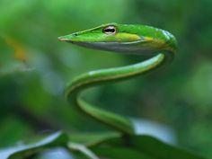 Dangerous Snakes: Green Mamba