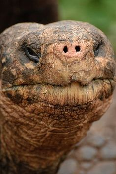 Galapogas Tortoise....He/she is so Cute!!