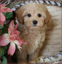 Apricot maltipoo pup from Kack's Poos in Toledo, Ohio