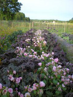 Purpurkål och rosa malva i köksträdgården på Wij trädgårdar.