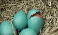 Vrolijk Pasen! Een ei hoort er natuurlijk bij. Helemaal als er schattige roodborstjes uit tevoorschijn komen. Het nestje bestond uit vier roodborstjes en allemaal�vlogen ze uiteindelijk vrolijk en gezond uit het nest. Wist je dat? Een roodborstje heeft in het�