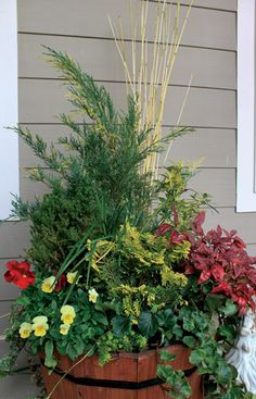 Winter container Juniperus chinensis  'Blue and Gold' Osmanthus heterophyllus 'Goshiki' Chamaecyparis obtusa 'Nana Lutea'Nandina 'Firepower' Liriope muscari 'Evergreen Giant'   Ivy, Pansies, Twigs