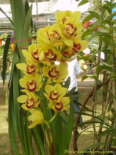 Cymbidium | Red and Yellow Cymbidium Orchid Flower Picture | Orchid Flower Fruit ...