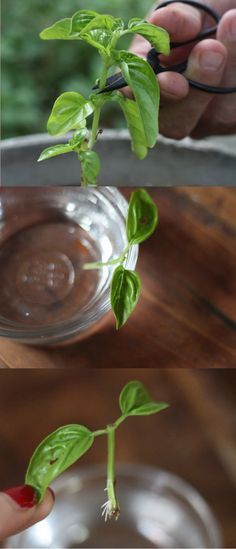 Side note: You can actually root and then plant basil straight from a cutting. | How To Grow Delicious Herbs And Veggies On Your Fire Escape