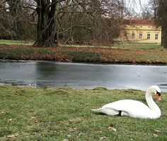 Swan (park Potsdam in Berlin) #swan #berlin #germany #german #animal #animals #lebed #kyknos #kiknos #zoa #park #parko #potsdam #parkpotsdam #spring #beauty #nature #nature_perfection #naturelovers #naturelover_gr #naturebeauty #lebed