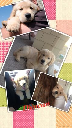 Cute puppy Puppy Pics, Puppy Pictures, Cute Puppies, Labrador Retriever, Dogs, Animals, Dog Photos, Labrador Retrievers, Animales