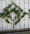 Espalier fruit trees - would be cool against the neighbors' garage wall!