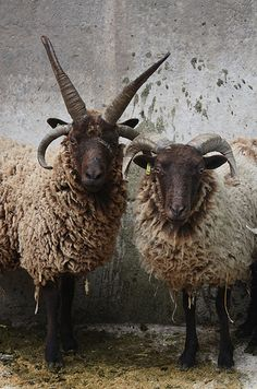 I love Jacob sheep. They are one of God's magnificent creatures. Jacob ram (left) and ewe (right)