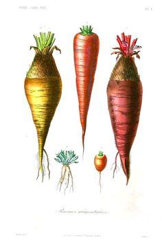 die 35 besten bilder von carrot | illustration, gemüse