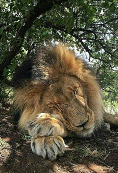 African Male Lion Sleeping Like a Big Baby.